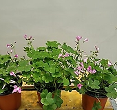 분재사랑초(핑크) 짙한핑크색꽃이 피고지고해욪|
