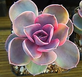 웨스트레인보우61 Echeveria rainbow