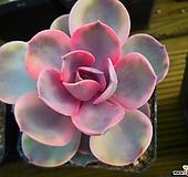 웨스트레인보우77 Echeveria rainbow