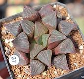하월시아 코렉타 h37  haworthia