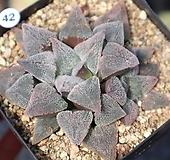 하월시아 분설실생 h42  haworthia