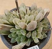 쿠페리금8053 Haworthia cooperi