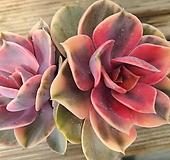 웨스트레인보우  Echeveria rainbow