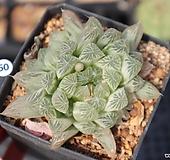 하월시아 쿠페리금 h50  haworthia