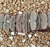 옥선 1415 Haworthia truncata
