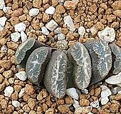 옥선 1416 Haworthia truncata