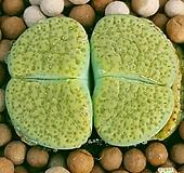 리톱스 아우레아 수입들어온고급종이구요 묵둥이쌍두입니다  0415 산아래다육이|Lithops