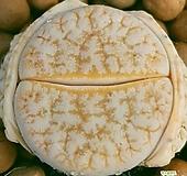리톱스 카페오레 수입들어온좋은품종입니다  특가로드려요  0426 산아래다육이|Lithops