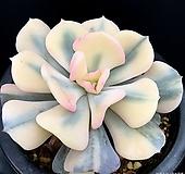 큐빅프로스티복륜금 Echeveria pulvinata Frosty