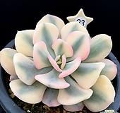 큐빅프로스티복륜금 최상급금입니다 Echeveria pulvinata Frosty
