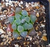 쿠페리58 Haworthia cooperi