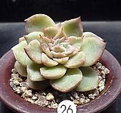 샤론금(4.12) variegated