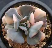 큐빅후로스티금7090 Echeveria pulvinata Frosty