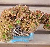 미인경철화 Aeonium tabuliforme