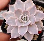 섭세실리스 금(E. subsessilis variegated) 0412-R242 Echeveria subsessilis