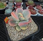 아가 많은 방울복랑금(수박금)4-3006 Cotyledon orbiculata cv variegated