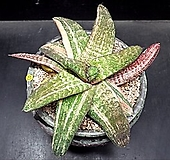 바테시아나금(자구-2)|variegated