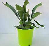 그루그루 플라티세리움 힐리파나마 박쥐란 공기정화식물 행잉플랜트 화훼농가|