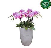 호접란 (일반원형완성분)대품 감사화분 호텔로비식물 DSP-048|