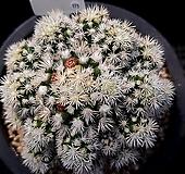 눈꽃 선인장 173  Mammillaria gracilis cv.