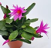 핑크원종봄게발선인장(소품) 