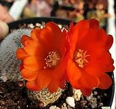 57 꽃핀 보산선인장.실생 Rebutia minuscula K. Sch.