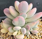 방울복랑금 대품|Cotyledon orbiculata cv variegated