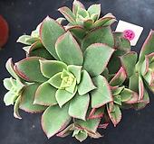 까라솔 34|Aeonium decorum f variegata