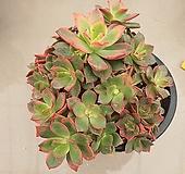 까라솔중품(104) 다육식물 키우기쉬운다육식물 16cm포트분|Aeonium decorum f variegata