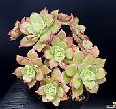 까라솔 20-171|Aeonium decorum f variegata