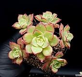 까라솔 20-320|Aeonium decorum f variegata