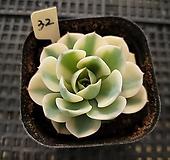 르노어딘32|Echeveria Lenore Dean
