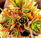 홍까라솔4-961|Aeonium decorum f variegata