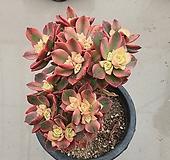 까라솔(105) 다육식물 키우기쉬운다육식물 16cm포트분|Aeonium decorum f variegata