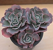 버클리 묵은한몸|Echeveria Berkeley Light