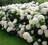 흰색 아나벨 수국 대품|