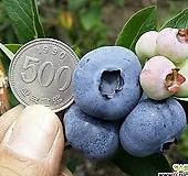 자가수정 결실주 블루베리나무 화분상품/왕블루베리/유실수/과일나무|