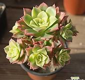 까라솔 자연 0502-37|Aeonium decorum f variegata