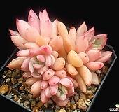 아메치스교배종 23-63|Graptopetalum amethystinum