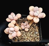 아메치스 23-148|Graptopetalum amethystinum