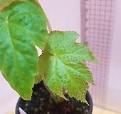 베고니아rubropunctata1653-62|
