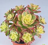 까라솔140|Aeonium decorum f variegata