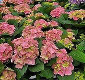 수국 핑크 꽃대2-6송이 랜덤발송109|