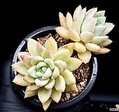 아메치스교배종 24-200|Graptopetalum amethystinum