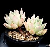 아메치스교배종 24-266|Graptopetalum amethystinum