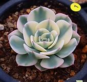 르노어딘 010504|Echeveria Lenore Dean