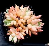 아메치스교배종 24-324|Graptopetalum amethystinum