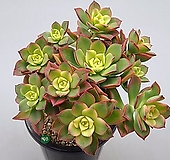 까라솔|Aeonium decorum f variegata