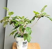 겹떡갈잎수국, 전체높이 40cm 전후|