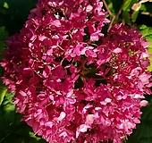 레드아나벨6번-아나벨수국중가장진한붉은꽃-동일품배송|